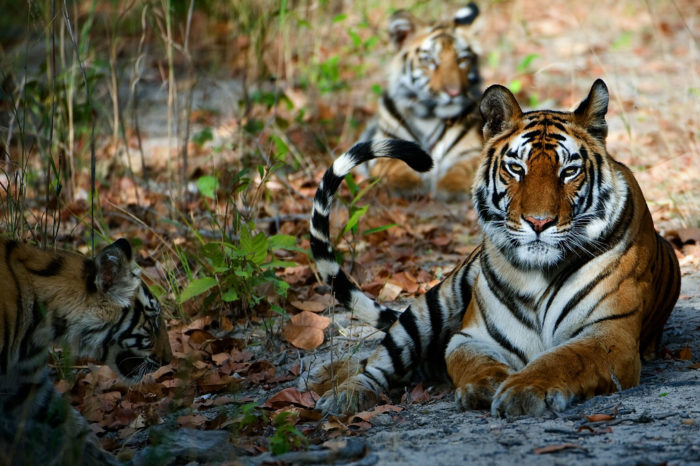 On the Trail… Tadoba Summer